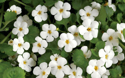 Bacopa Monnieri a.k.a. Brahmi - Everything You Need To Know