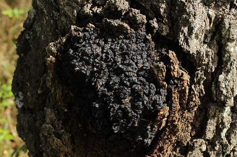 chaga health benefits mushrooms