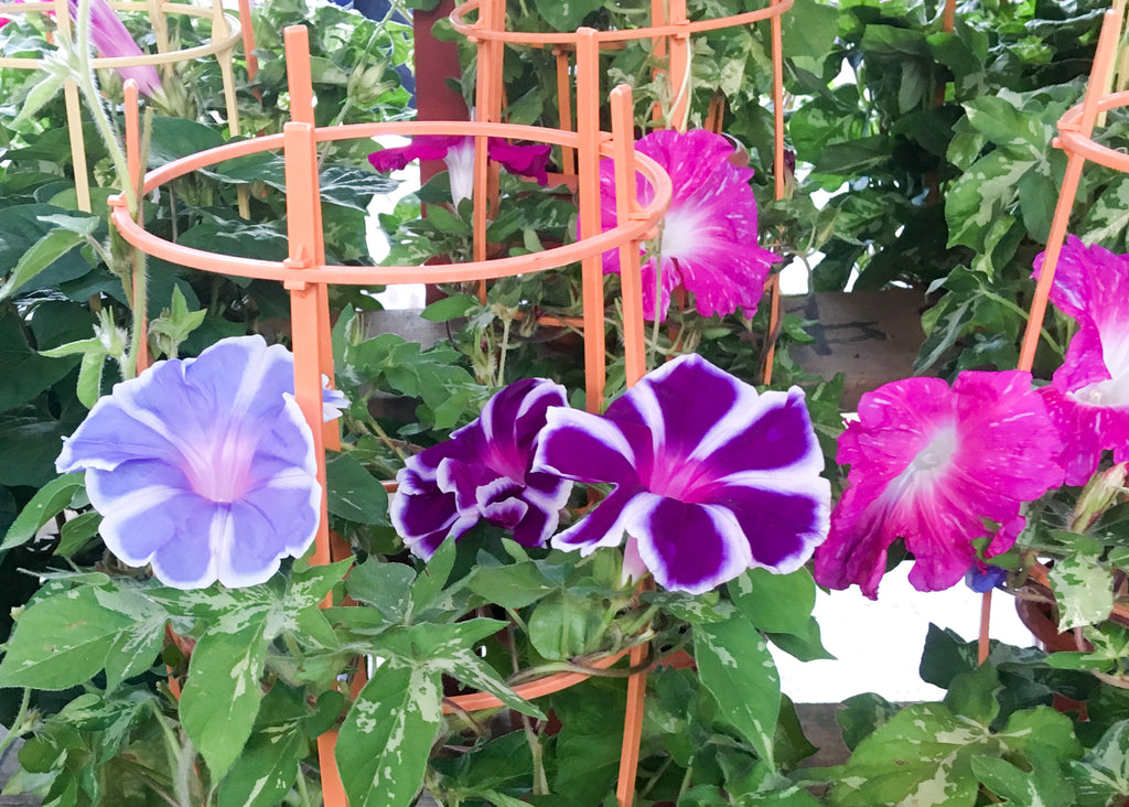 The Beauty of Morning Glories