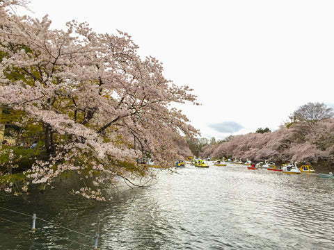 Cherry Blossoms_Sakura