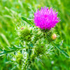 Milk Thistle Seed Extract