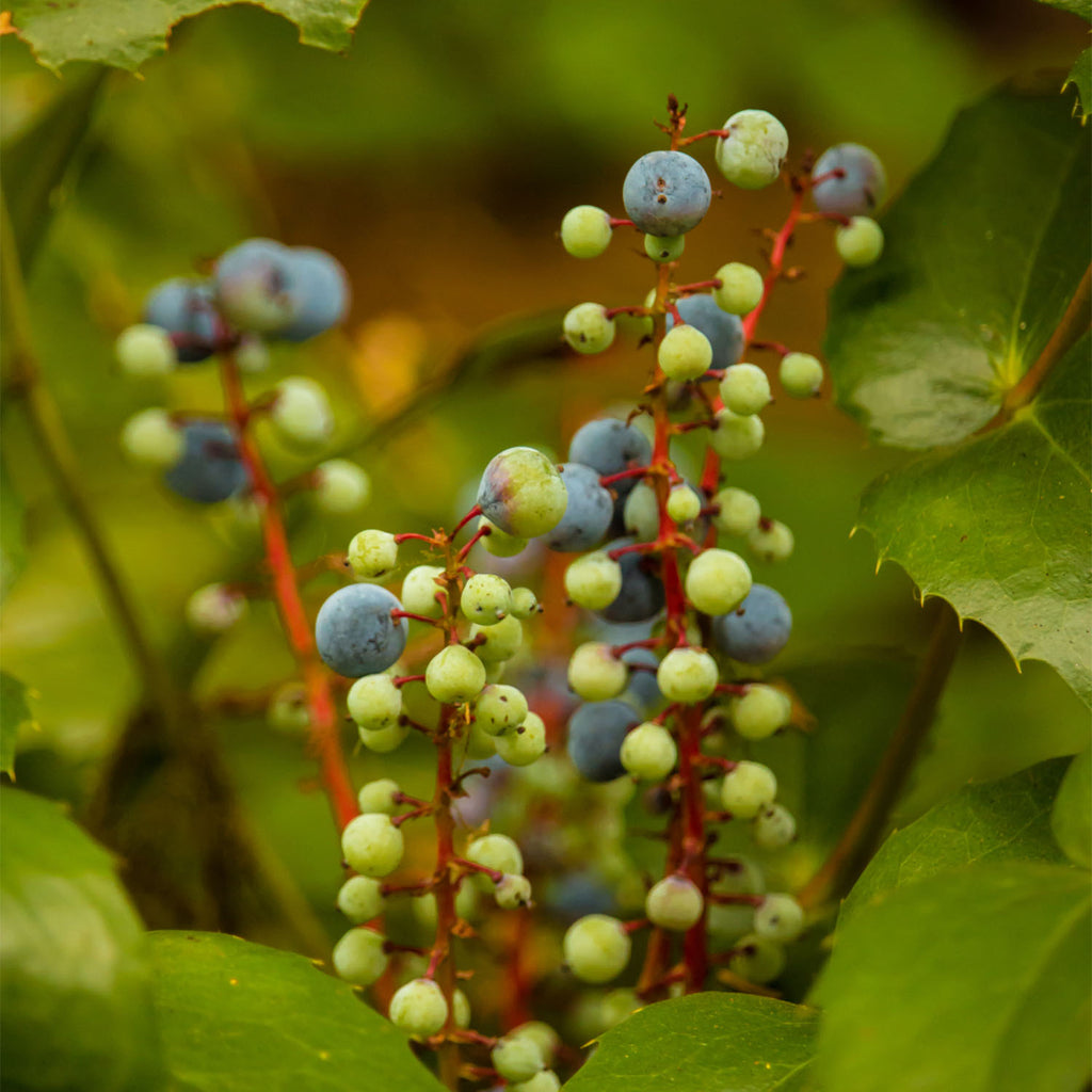 Oregon Grape Root Extract