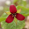 Red Trillium Flower Essence