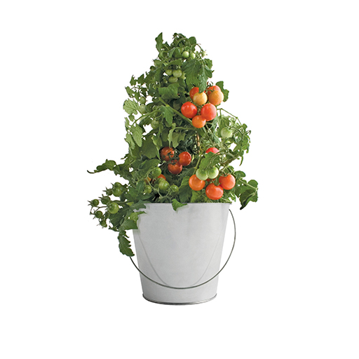 Tomato Garden-in-a-pail