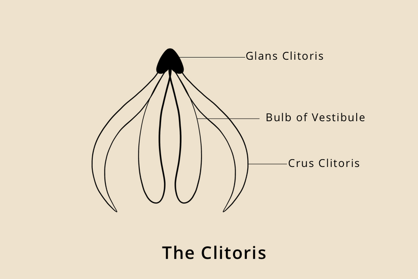 The Clitoris - A Simple Guide