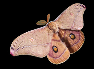 Emperor_Gum_Moth_By Fir0002 Wikipedia