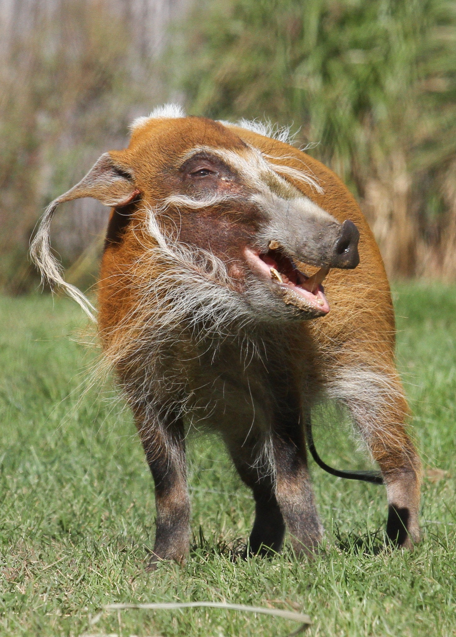 RED RIVER HOG - EYESHADOW