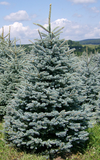 Blue Spruce - SOLD OUT