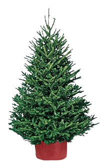 Fraser Fir - SOLD OUT
