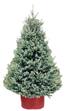 White Spruce - SOLD OUT