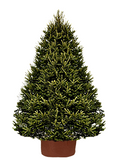 Norway Spruce - SOLD OUT