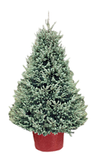 Small White Spruce - SOLD OUT