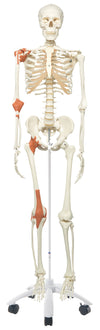 Leo the Ligament Skeleton