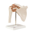 Functional Shoulder Joint