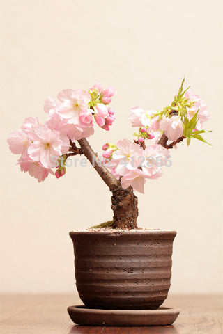 20pcs Sakura Seeds Bonsai Flower Pots