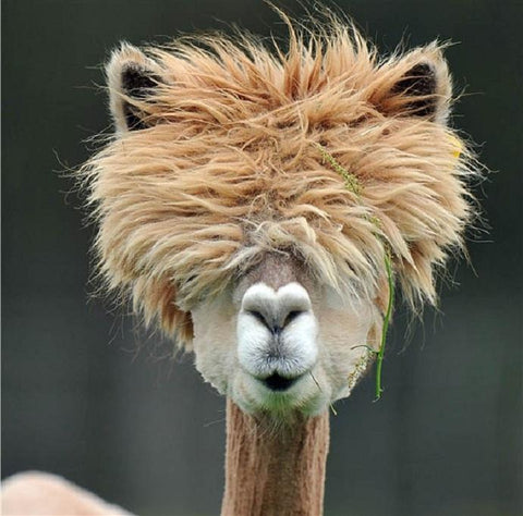 Bad Hair Day Llama