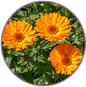 Calendula Flower Extract