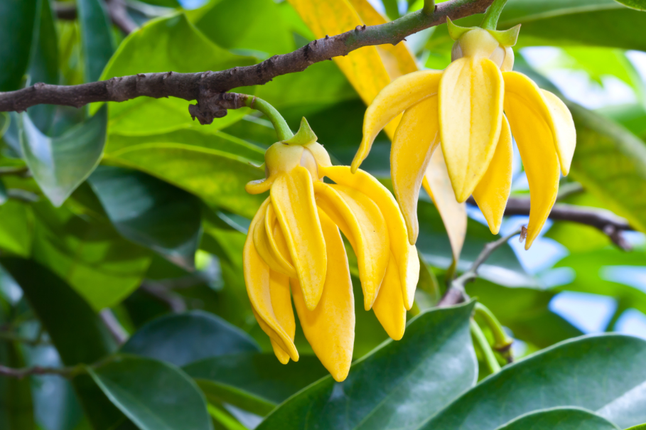 All About Ylang Ylang