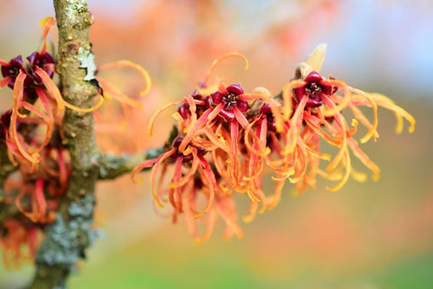 The Benefits of Witch Hazel Extract for Your Skin