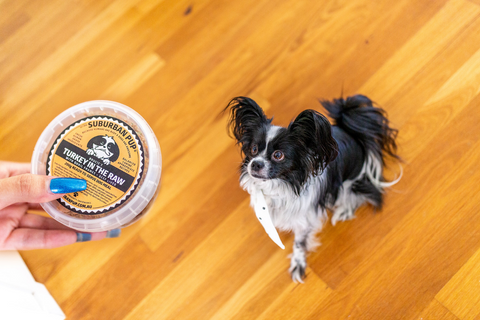 blueberry the papillon + turkey in the raw