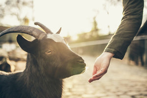 Do Goats Milk Soaps have a 'Goaty' Smell?