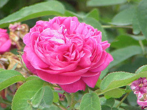 Rose Essential Oil Emotional Freedom