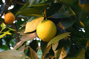 Citrus-sinensis-fruit-wiki-creative-commons-GNU-Free-Sten_Porse2