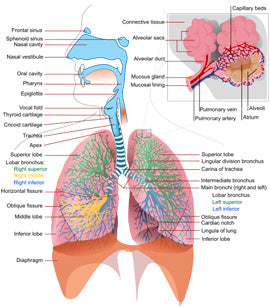 Respiratory_system_complete_Wiki_LadyofHats_public-domain