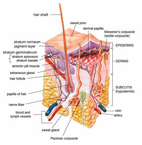 Skin tissue diagram dissection dermis & epidermis