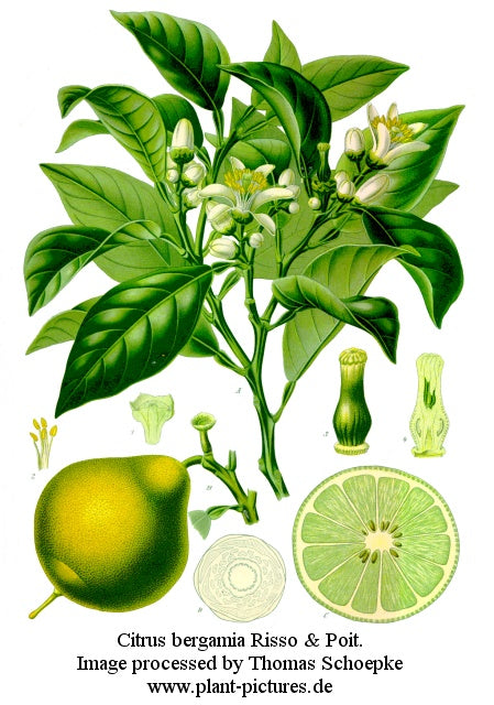 bergamot-wiki-creative-commons-public-domain-copyright-expired-koeh-183
