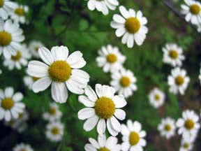 German Chamomile flower white petals with yellow center and green foliage