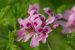 rose geranium flower from which pure essential oil is distilled.