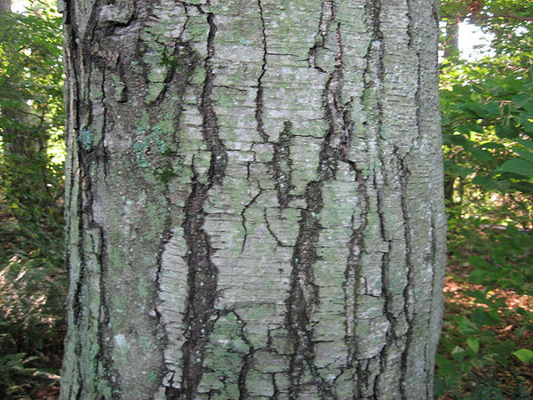 Birch oil, Betula Lenta - Steam Distilled Bark, Adirondack, Canada,-Single Pure Essential Oil-PurePlant Essentials