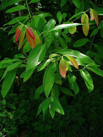 Cinnamon Leaf Oil, Cinnamomum zeylanicum - Organic, Madagascar-Single Pure Essential Oil-PurePlant Essentials