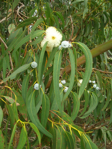 Eucalyptus Essential Oil, Eucalyptus globulus - Australia-Single Pure Essential Oil-PurePlant Essentials