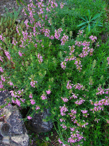Hyssop, Hyssopus officinalis - Steam Distilled Whole Plant, Bulgaria-Single Pure Essential Oil-PurePlant Essentials