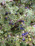 Juniperberry, Juniperus Communis - Steam Distilled Berry (Certified Organic), Croatia-Single Pure Essential Oil-PurePlant Essentials