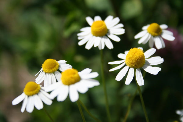 Chamomile German, Matricaria Chamomila -- Steam Distilled Flowers, Bulgaria-Single Pure Essential Oil-PurePlant Essentials