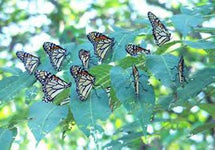 Butterfly Transformation -- with Archangels Azrael & Jeremiel Meditation -- MP3 & PDF -- (BUY BUNDLE & SAVE)-Bundle-PurePlant Essentials