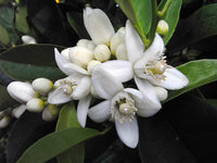 Neroli, Citrus Aurantium -- Steam Distilled Flowers, Tunisia-Single Pure Essential Oil-PurePlant Essentials