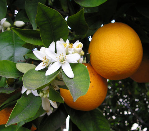 Orange Sweet Oil, Citrus sinensis - Ethically Wild Crafted Organic, Belize-Single Pure Essential Oil-PurePlant Essentials