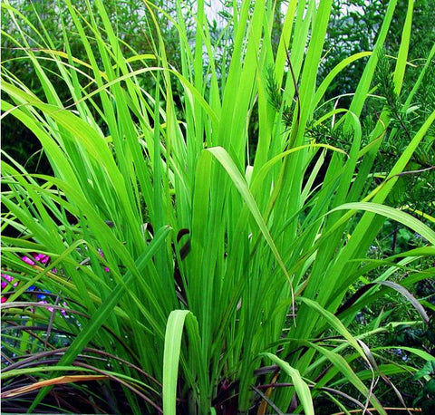 Palma rosa Essential Oil, Cymbopogon martinii - Nepal (High Geraniol) - SAVE Up to 40% OFF!-Single Pure Essential Oil-PurePlant Essentials