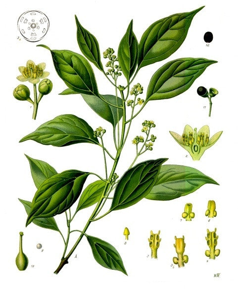 Ravintsara Oil, Cinnamomum camphora - Madagascar-Single Pure Essential Oil-PurePlant Essentials