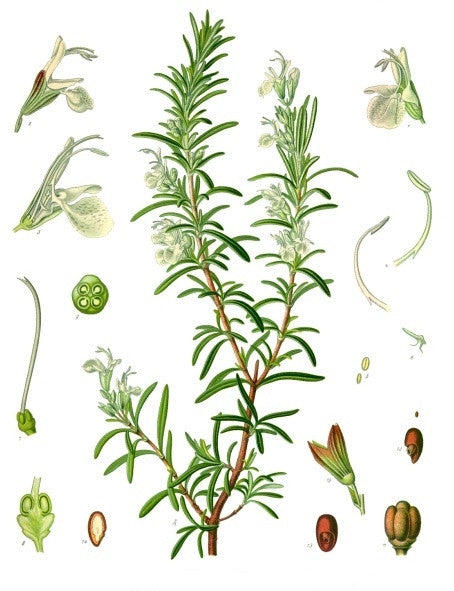 Rosemary ct Cineole, Rosmarinus Officinalis - Steam Distilled Leaf, Morocco-Single Pure Essential Oil-PurePlant Essentials