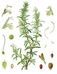 Rosemary ct Cineole, Rosmarinus Officinalis -- Steam Distilled Leaf, Morocco-Single Pure Essential Oil-PurePlant Essentials