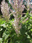 Clary Sage Essential Oil, Salvia sclarea - USA-Single Pure Essential Oil-PurePlant Essentials