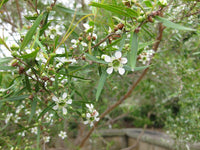 Lemon Tea Tree Essential Oil, Leptospermum petersonii - Australia-Single Pure Essential Oil-PurePlant Essentials