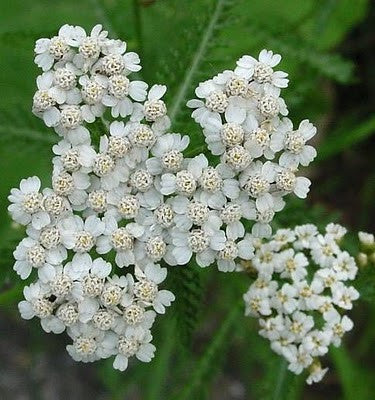 Yarrow, Achillea millefolium - Steam Distilled Flowers, Bulgaria - 10% Dilution of Light Coconut Oil - 50% OFF LIQUIDATION CLEARANCE - LIMITED STOCK - WHILE SUPPLIES LAST!-Single Pure Essential Oil-PurePlant Essentials
