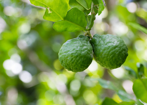 Bergamot Essential Oil, Citrus bergamia - Italy-Single Pure Essential Oil-PurePlant Essentials