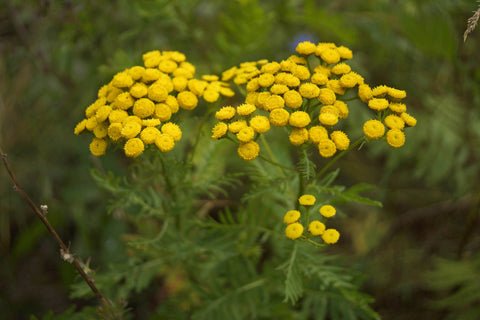 Blue Tansy, Tanacetum anuum -- Steam Distilled Flower Tops (Wild Crafted), Morocco -- 10% Dilution Light Coconut Oil-Single Pure Essential Oil-PurePlant Essentials